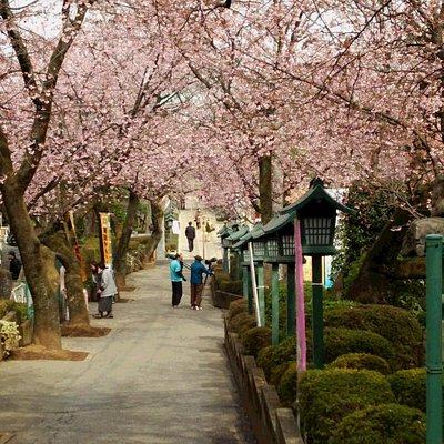 参道の両側に寒桜が出迎える