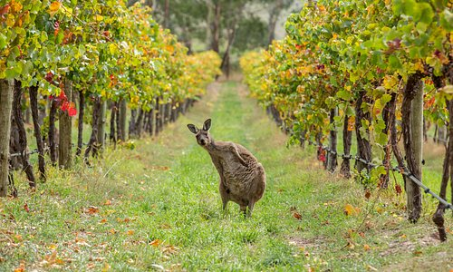 Wildlife amongst the vines