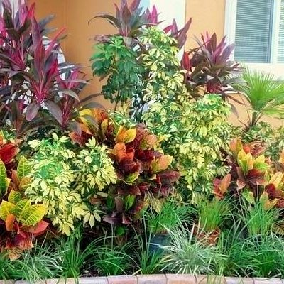 Crotons and red sisters are everywhere in Old Cutler. Very beatiful.