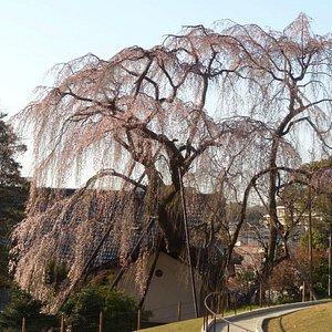 川井家の枝垂れ桜