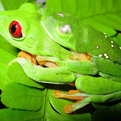 Cocobolo Nature Reserve has many species of frogs