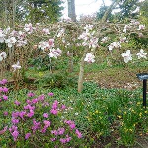 Magnolia Tree at Finnerty Gardens 2015