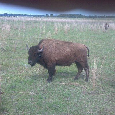 American Bison called Buffalo @ 3 Suns Ranch