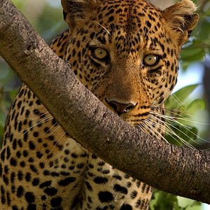 Leopard of Eyes on Africa Safaris