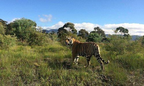 Raise, Bengal Tiger