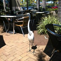 aggressive Egret on the patio of Tijuana Flats because people feed it!