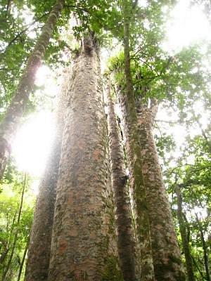 森の神タネ・マフタ