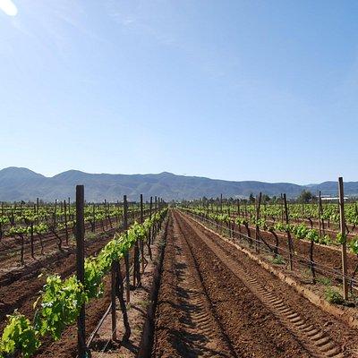 vine rows