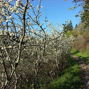 Blossoming trees along the trail