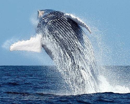 Whale watching Experience.  Amazing breaching.