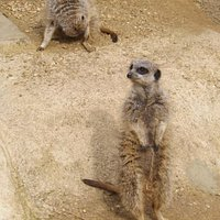 Part of the meerkat group at the Exotic Pet Refuge
