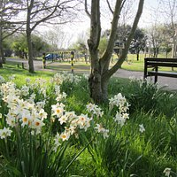 Lodmoor Country Park's lovely display of daffodils