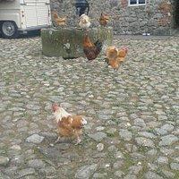 Rare fowl at Ardress Farmyard