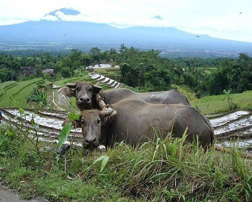 Ricefield Buffalo