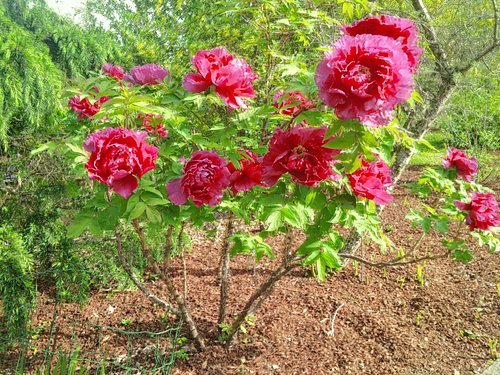 Peonías arbustivas del jardín botánico