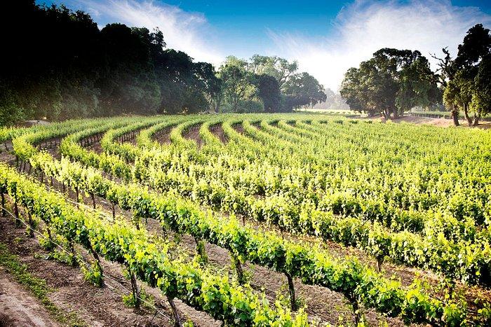 Lodi Wine Country Vineyard