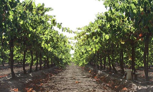 Lodi Wine Country Vineyard