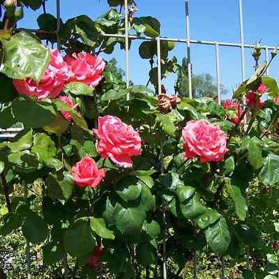 Je vois la rose ainsi ' elle a sa couleur naturel!