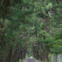 松並木が450m続いています