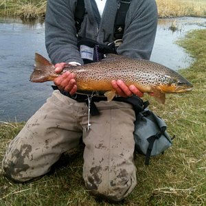 A beautiful brown trout.