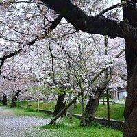 妙見宮 参道桜