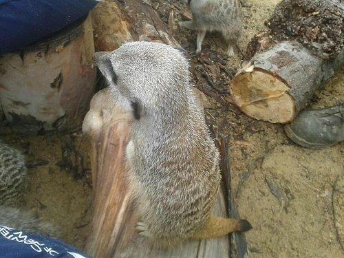 meerkat brent lodge park animal centre