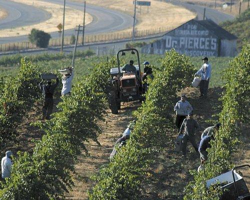 Picking the 1908 Old Vine Block