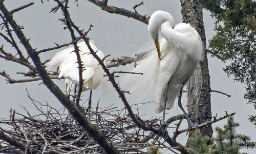 One Egret Building a Nest While the Other Grooms Himself