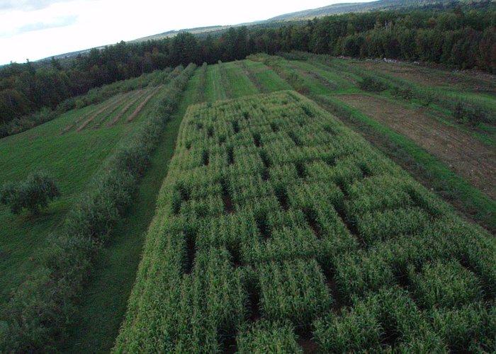 Our corn maze!