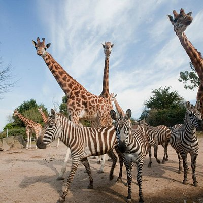 Our Rothschild's giraffe herd is extremely popular with all visitors.