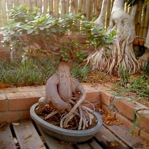 Ficus Imported from CHINA