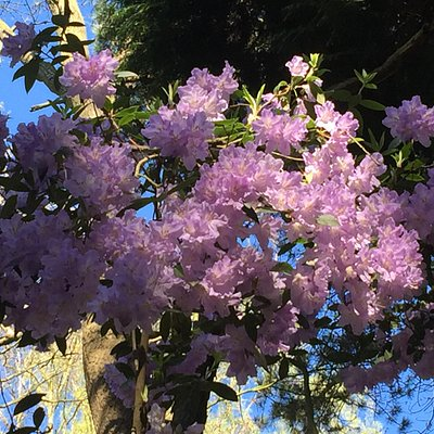 Rhododendron and Azalea season