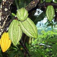 Plantaciones de cacao de la planta.