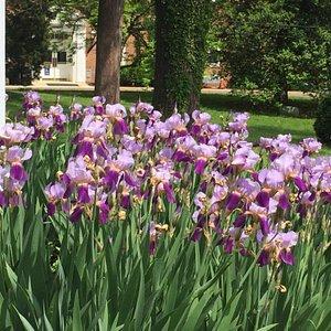Irises and historic marker.