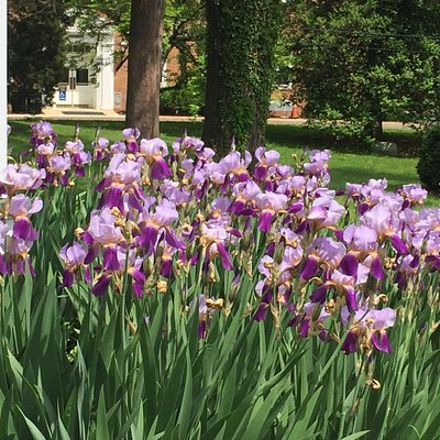 Irises and historic marker.