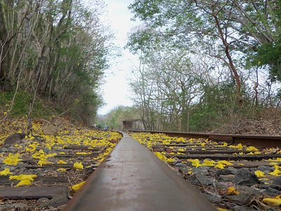 Beautiful flowers from a blooming tree over the tracks