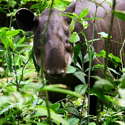 This is a hungry tapir!