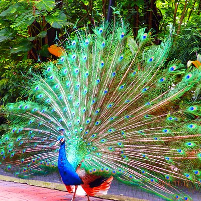 Beautiful Peacock Dance