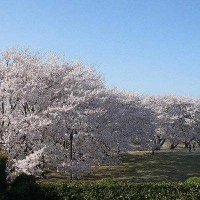 満開の桜を見下ろす事が出来ます!