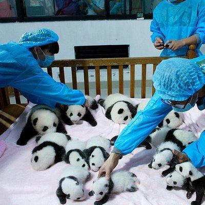 chengdu panda tour package|travel guide