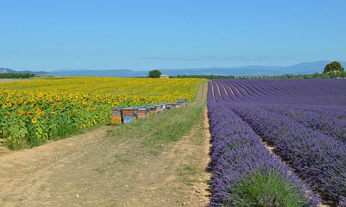 Lavender an Sunflowers, Provence in all its beauty!