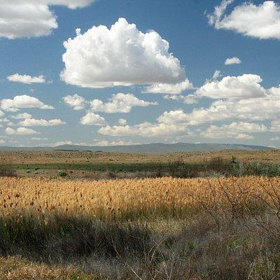 A bed of reeds near an irrigation stream.