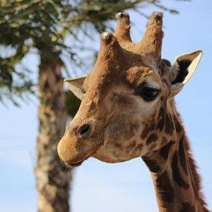 Grande, una de nuestras jirafas