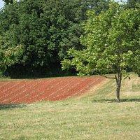New salvia plantation