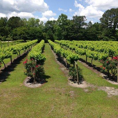 Vineyard  & rose bushes