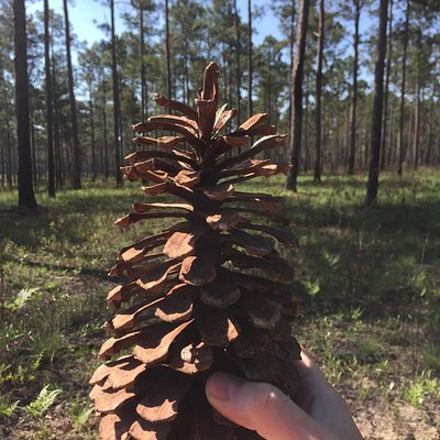 Morrison Pines Plantation