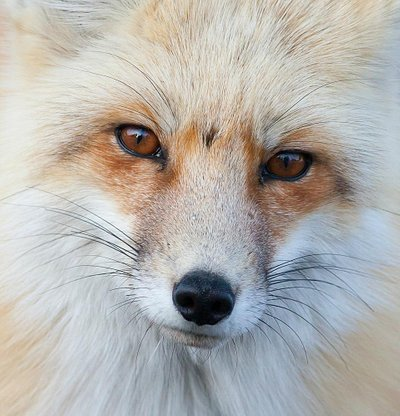 This curious Red Fox poses for a closeup - Grand Teton National Park