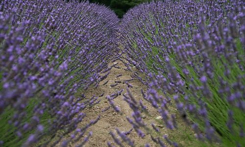 Lavender in bloom at Blue Willow