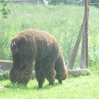 Alpaka,jedna z wielu mieszkańców Mini Zoo.