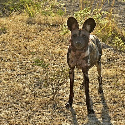 Wild dog looking at the safari vehicle